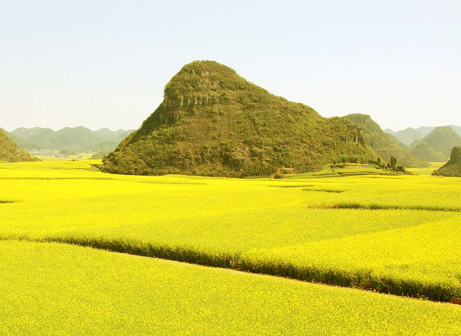 Can canola replace soybean meal in dairy diet?