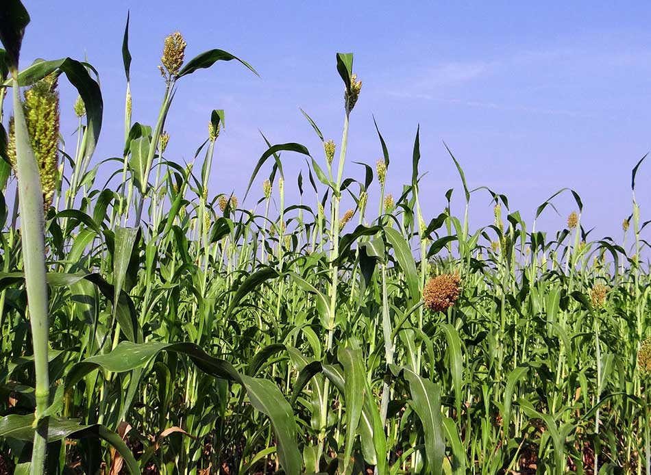 Sorghum BMR silage made for dairy cattle
